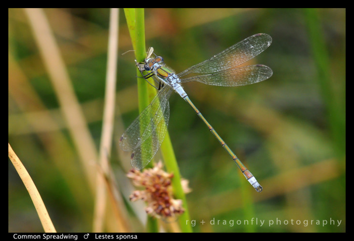 Lestes sponsa (m) Common